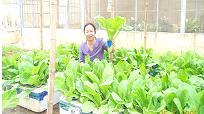 Trồng rau ăn lá bằng kĩ thuật thuỷ canh