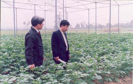 Nghiên cứu và sản xuất thành công giống khoai tây Atlantic sạch bệnh