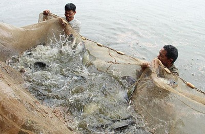 Hải Phòng: Triển khai mô hình nuôi cá rô phi theo VietGAP