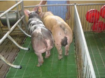 Triển khai sản xuất tổ hợp lợn giống lai 50% PiDu thương phẩm vào sản xuất đại trà