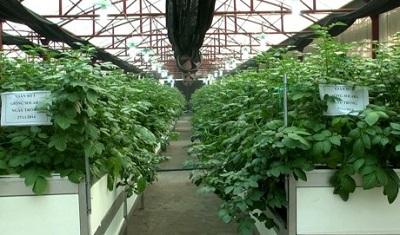 Thái Bình: Sản xuất khoai tây giống bằng nuôi cấy mô tế bào kết hợp phương pháp khí canh
