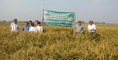 Xây dựng mô hình sản xuất lúa nếp cái hoa vàng thương phẩm theo tiêu chuẩn VietGAP tại Hải Phòng